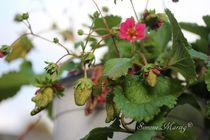 Erdbeere unreif in Blüte von Simone Marsig