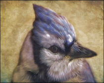 Portrait-of-a-blue-jay-2