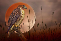 Red-tail-hawk-at-rest
