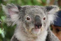 Koala Bär by usaexplorer