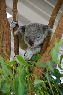 Koala - Australien by usaexplorer