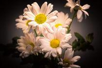 Chrysanths by Jeremy Sage