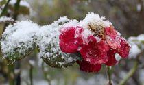 Rose im Winter von Simone Marsig