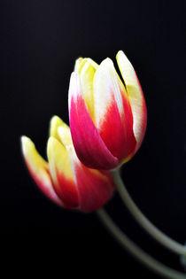 Tulpen by Irmtraut Prien