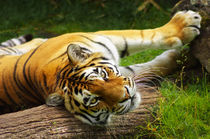 Tiger by AD DESIGN Photo + PhotoArt