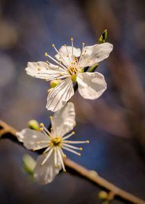 Blossom-dot-portrait