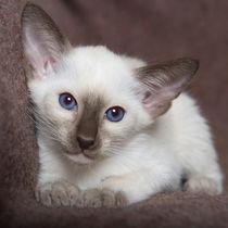 Siam Kitten / 20 by Heidi Bollich