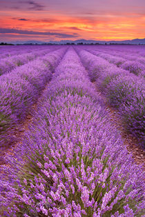 Sunrise over blooming fields of lavender in the Provence, France von Sara Winter