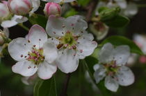 Apple Blossoms von dagino