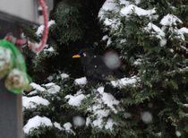 Amsel im Schutze vor Schnee von Simone Marsig