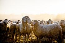sheep von Andreas Brauner