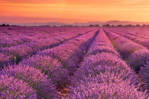 Sunrise over blooming fields of lavender in the Provence, France by Sara Winter