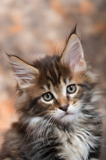 Maine Coon Kitten / 59 by Heidi Bollich