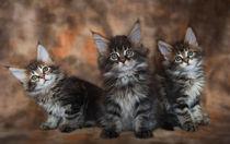 Dsc-0285-dot-t-mc-kittens2-02-16