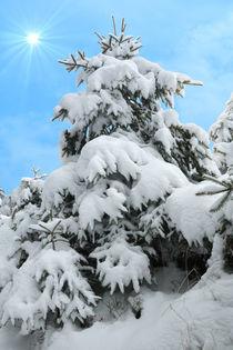 Winter-fichte