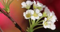 Wintzig Blüten noch ganz fein klar und auch so rein.  von Simone Marsig