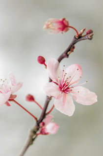Prunus-dot-2
