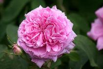 Rose von lizcollet