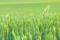 Getreide Feld von cavallo-magazin