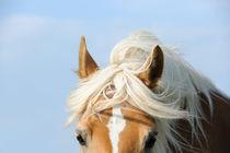 Hübscher Haflinger  von cavallo-magazin