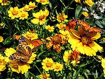 Sigtnew-orangebutterfliesonyellowflowers