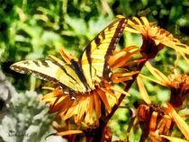 Sigless-tigerswallowtailonyellowwildflower