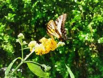 Sigless-tigerswallowtailonyellowlantana