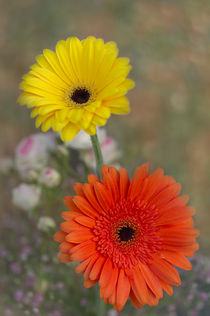 Gerbera gelb-orange by Heidi Bollich