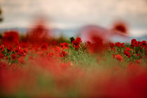 Summer-poppy-006