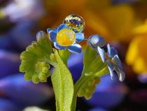 Forget-me-not and rain drops von Yuri Hope