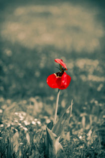 Lonely Red Flower by cinema4design