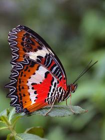 Schmetterlings-Makro, Bortenfalter (cethosia), tropical butterfly, von Dagmar Laimgruber