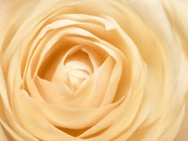 Rose, cremefarben von darlya