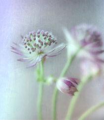 Sterndoldenpastell by Franziska Rullert