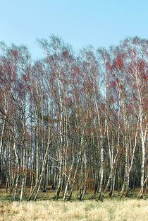 Birch-groove-web