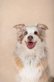Australian Shepherd / 2 by Heidi Bollich