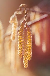 'Gemeine Hasel - Corylus avellana - männliche Blüten' by Peter Eggermann