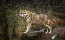 der wolf von Manfred Hartmann