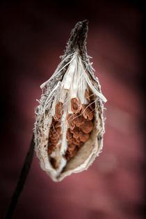 Asclepias syriaca by Michal Kabzinski