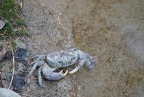 Sad crab von Azzurra Di Pietro