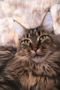Maine Coon / 62 by Heidi Bollich