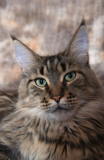 Maine Coon / 63 by Heidi Bollich