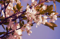 Blossoming Cherry by cinema4design