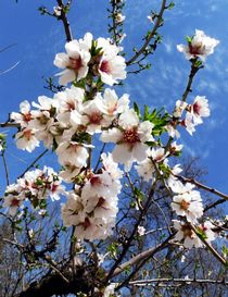 'Almond Blossoms in the Sky' by Juergen Seidt