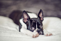 Boston-terrier-puppy-01