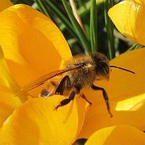 Biene auf Gelb von Angelika  Schütgens