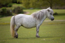 Miniature Horse. by David Hare