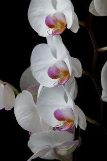 White Orchids von Leighton Collins