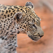 Portrait of a leopard by wildlight