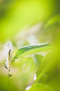 Butterfly in green von lauradiaranature